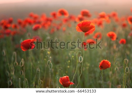 In poppies field