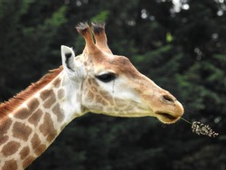 In spite of its melancholy air, the giraffe savors the juice of its blade of grass.