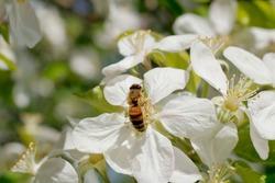 In spring, bees visit the wonderful flowers.