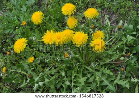In spring, dandelion grows and blooms in nature