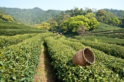 In spring, female tea plucking workers in hangzhou west lake longjing tea plantation picking ? China