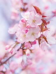 In spring, the cherry blossoms are in full bloom