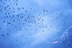 In stormy weather or before cataclysms, crow and raven birds worry and gather in huge black flocks, circle in the sky, deafening everything with a loud croak. Lightning strike and thunder.