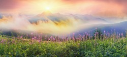 In summer, in July, in the Carpathian Mountains of Montenegro under the beautiful flowers bloom - willow-herb. On meadows above the forest after the rain mist, giving the magic charm of dawn