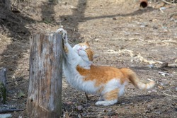 In summer, on the street on the farm, a white ginger cat stretches and sharpens its claws on a log.