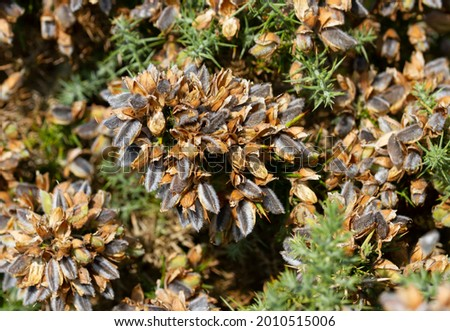 In summer the furry seed cases of the Gorse bush split open with a cracking noise and fling their seeds a distance from the the parent plant. Such dehiscent  Stock photo ©