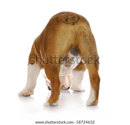 in tact male english bulldog standing with backside to viewer with reflection on white background