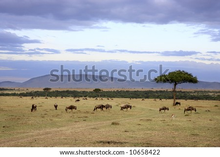 in the beautiful plains of the masai mara reserve in kenya africa