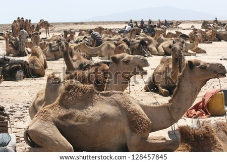 In the Danakiil Desert of Ethiopia, dromedary camels rest before joining caravans to haul salt