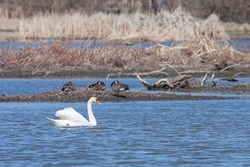 In the Dupage River, a mute swan drifts past three sleeping geese. The swan, wings raised like a sail, quietly floats in the rippled waters.