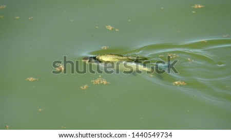 in the early morning, a large fish (bream 1.5 ... 2 kg) swims in the waters of the Kuban River. Briefly appeared on the surface before diving into the depths