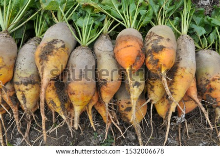 In the field on the pile dug out are fodder beets