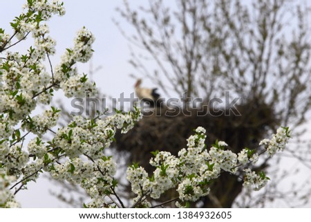 In the foreground, cherries blossom in focus, the back blur of the background, a lone stork stands in a large nest.