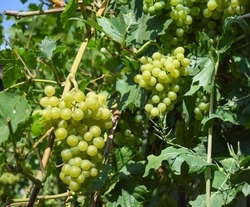 In the garden on a summer day, green ripe bunches hang on a grape bush