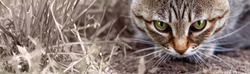 In the grass lurks a beautiful striped brown wild cat preparing to jump. Cat face close-up. A long banner with space for text.