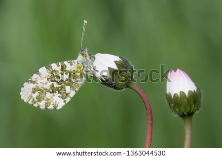 In the meadow, the Orange tip butterfly (Anthocharis cardamines)