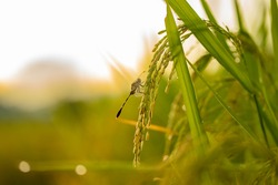 In the morning in the rice fields that are still awake, it becomes a natural habitat for dragonflies.
