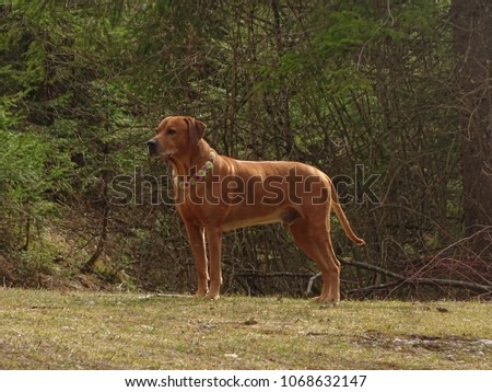 In the photo is a dog (rhodesian ridgeback) with dog collar of santini flowers. Photo was made in early spring near Sylvenstein lake  (Bavaria, Germany).  #1068632147
