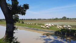 In the scorching hot weather, a number of sheep are looking for green plants near rice fields and rivers with brown water in Grobogan, Indonesia.  At that time the sky was clear.