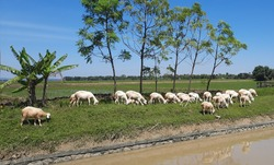 In the scorching hot weather, a number of sheep flock to forage for green plants near rice fields and rivers with brown water in Grobogan, Indonesia.  At that time the sky was clear.