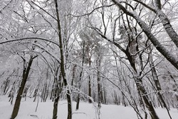 in the snow, deciduous trees in the winter season, cold winter weather in nature after snowfalls and frosts, deciduous trees of different breeds after snowfall in the park
