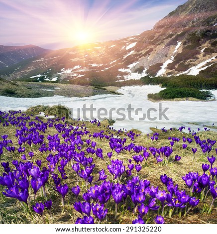 In the spring, in April, May, alpine meadows on a background of the cold of snow in the Carpathians, the first great joy grow flowers, stretching to the sun blue bells - crocus, saffron