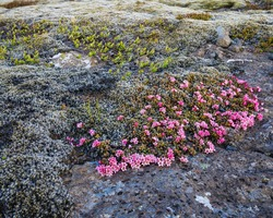In the spring, in Iceland, on lava fields, moss begins to bloom very beautifully. On cold, gray stones, bright pink flowers look very beautiful.