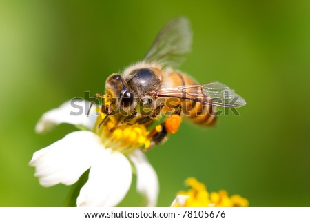 In the summer time, a lovely honey bee is busy for collecting nectar on the flower. Close up of the bee
