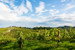In the vineyards of a winery in Tuscany in the Chianti region