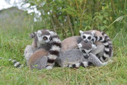 In this image of warm yellow, green and orange tones, four or five young ring tailed lemurs huddle together and rest. One lemur stares with striking orange eyes.