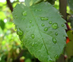 In this photo you can see some raindrops on a rose leaf