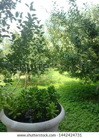 In this pic we can see a garden having trees plant apples and all Greene