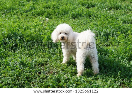 In this picture I can see a white Poodle dog in a green meadow.