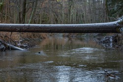 in winter the river in the forest with trees in the water that have fallen after high winds and in places white snow