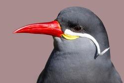 Inca tern (Larosterna inca) bird