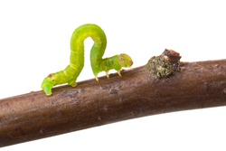 Inchworm walking on a branch. Isolated on white