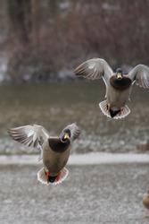 Incoming Mallards at the lake