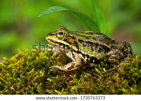 Inconspicuous edible frog, pelophylax esculentus, hiding below a green leaf in summer. Camouflaged wild animal merging with the environment. Amphibian looking with large eye in nature from side view. ストックフォト ©