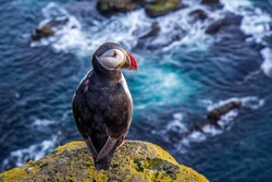 Incredible atlantic puffin is sitting on the cliff above blue ocean. Iceland
