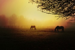 Incredible atmosphere at the end of the day on a field with horses. Sunset with thick fog.