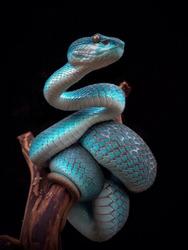 incredible blue viper
