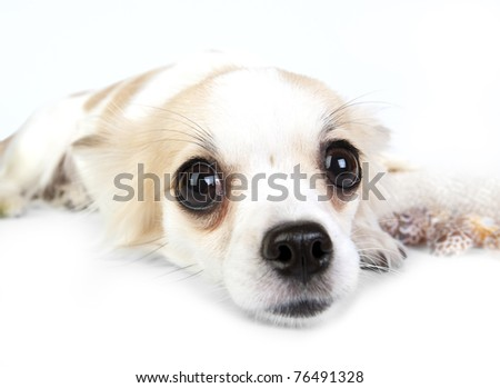 Incredible chihuahua eyes close-up, Chihuahua dog lying down on white background