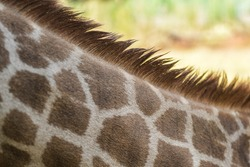 incredible close up shot the skin texture and the fur of a giraffe