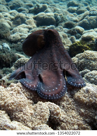 Incredible Underwater World - Octopus cyanea - Day octopus (blue octopus). Diving and underwater photography. Tulamben, Bali, Indonesia.