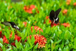 Incredibly beautiful day tropical butterfly Papilio maackii pollinates flowers. Black-white butterfly drinks nectar from flowers. Colors and beauty of nature.