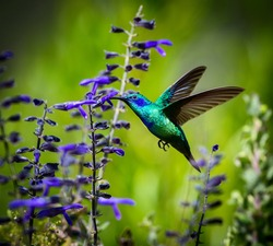 incredibly beautiful Green Violet Eared Hummingbird in the central mountains of Mexico. This is a rare picture of a medium sized hummingbird that is very elusive and shy and is one special bird.