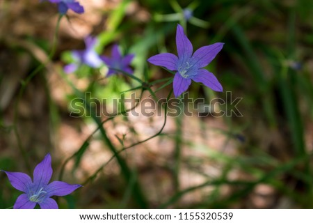 Incredibly beautiful purple flowers - bells in the forest along the way to the Eho hut. The mountain in the central Balkan astonishes with its beauty, fresh air and magnetism.