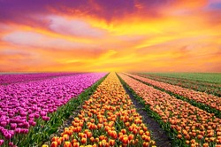 Incredibly beautiful spring landscape with rows of tulips in the holland at sunrise