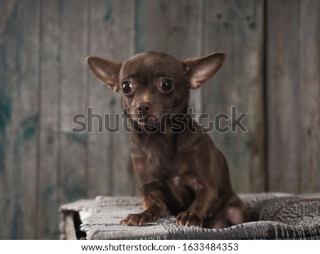 Incredibly stunned dog. Funny Chihuahua