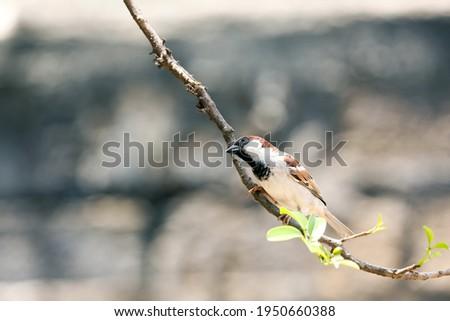 India, 3 April, 2021 : A House sparrow, Sparrow, Song bird, Backyard bird, A bird sit on the branch, Passer domesticus, Passer, Small bird, Male house sparrow. Foto stock ©